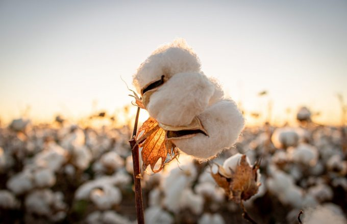 Cotton and the global economy